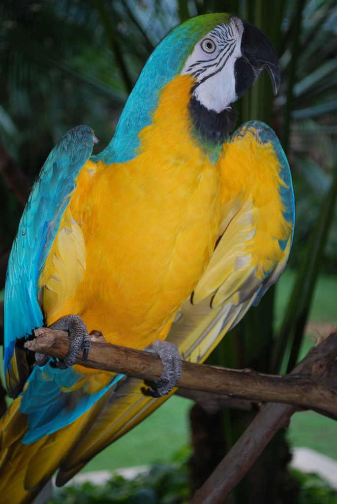 A blue and yellow Macaw